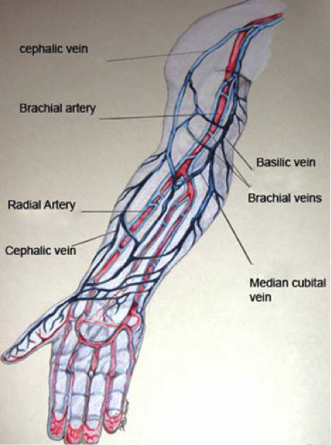 veins - a career in phlebotomy through cnm, Cephalic Vein